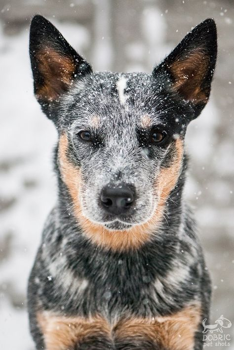 Aussie Cattle Dog, Austrailian Cattle Dog, I Love Dogs, Cute Dogs, Animals Beautiful, Cute Animals, Dog Photos, Dogs And Puppies, Doggies