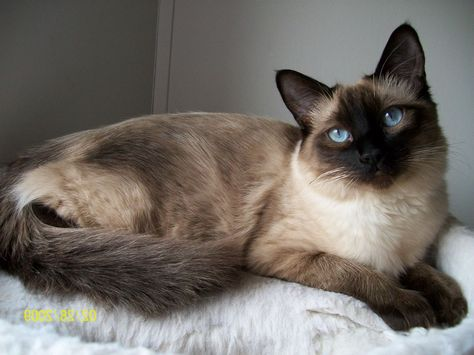 Burmese Siamese Cat Long Haired Siamese Cats Is A Part Of