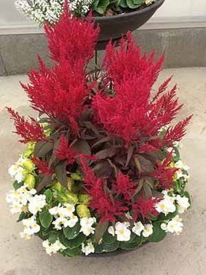 Red And White Container Plant With Dragon S Breath Celosia The Focal Flower Definitely Make A Statement Dragons Breath Plant Container Plants Plants