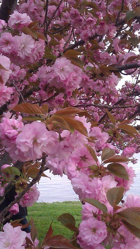 National Cherry Blossom Festival 2012 Centennial. Washington, DC. March 31, 2012