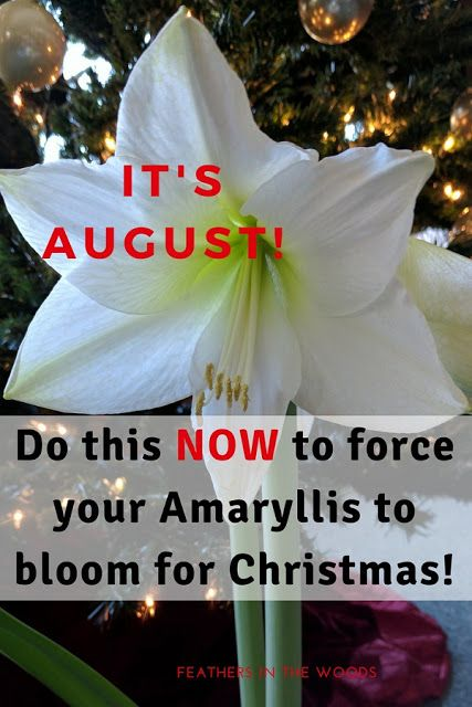 How To Force An Amaryllis To Bloom Again Amaryllis Plant Amaryllis Amaryllis Care
