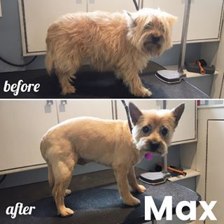 Max Is Ready For The Summer Summercut Cairnterrier Pet Grooming Dog Grooming Grooming