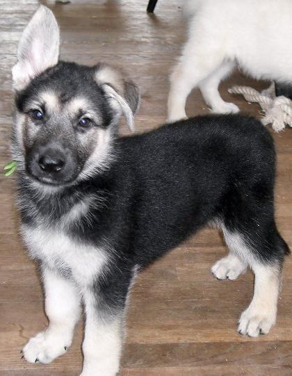 German Shepherd Shih Tzu Mix In 2020 German Shepherd Puppies