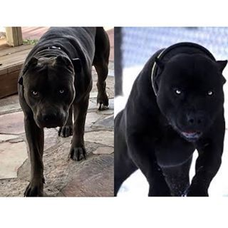 Babz And Deacons Productions Puppies Are On The Ground Now Black And Chocolate Pups Dea Black Pitbull Puppies Black Pitbull Blue Nose Pitbull