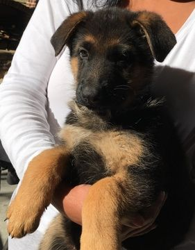 Litter Of 9 German Shepherd Dog Puppies For Sale In Dalton Ga
