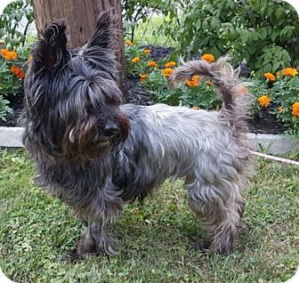 Rossford Oh Cairn Terrier Yorkie Yorkshire Terrier Mix Meet