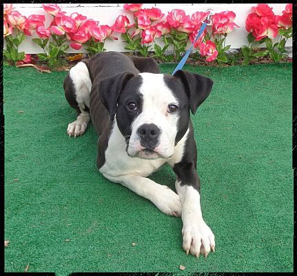 Pictures Of Lionel A Labrador Retriever For Adoption In Marietta