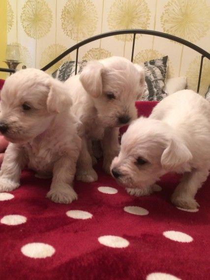 Schnoodle Miniature Schnoodle Puppy Miniature Schnoodle Animals