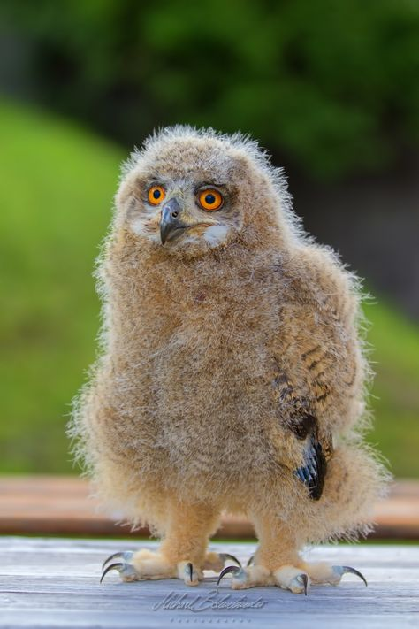 fluffy baby owl by Michi B. on 500px