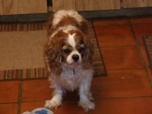 Adopt Spencer On King Charles Spaniel Spaniel Dog Cavalier King Charles