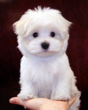 Poodle Maltese Mix Archives Dogable Net Cute Dogs Breeds Cute