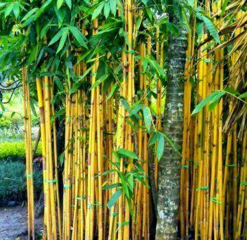 9+ jual bambu kuning update 2020