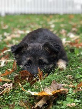 German Shepherd Dog Puppy For Sale In Goshen Ny Adn 50323 On Puppyfinder Com Gender Female Age 8 We German Shepherd Dogs Puppies For Sale Dogs And Puppies