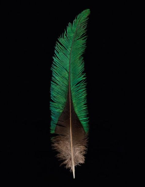 Crown JewelsThe Aztec and Maya of Central America used the vivid feathers of the quetzal in their crowns. PHOTOGRAPH BY ROBERT CLARK, NATIONAL GEOGRAPHIC CREATIVE