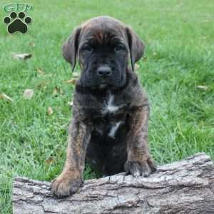 Cane Corso Puppies For Sale Cane Corso Dog Breed Info In 2020 Cane Corso Puppies Corso Dog Dog Breed Info