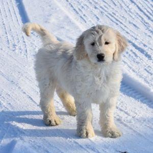White Lightning Goldendoodle Puppy 580915 Puppyspot