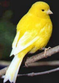 "Over 370 bird species have been recorded in Cuba.  The Canary bird, ""serinus canarius"", still living and singing in the islands' fields and forests"