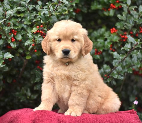Pin By Sonya Hudson On Golden Obession Golden Retriever Puppies