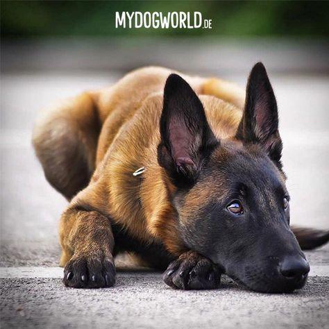 Pin Von July Soto Auf Perros Hermosos Hunde Malinois Hund