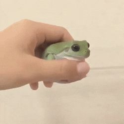 Nothing like a pet frog Cute Funny Animals, Cute Baby Animals, Funny Cute, Animals And Pets, Cute Reptiles, Reptiles And Amphibians, Whites Tree Frog, Pet Frogs, Frog Pictures