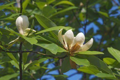 Diseases Of Sweetbay Magnolia Trees Treating A Sick Sweetbay Magnolia Magnolia Trees Sweetbay Japanese Magnolia