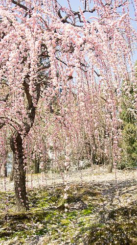 The most beautiful of all trees in the Rakusui-en (garden) #japan #kyoto