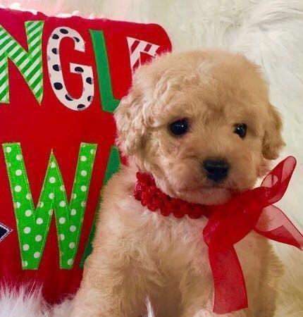 Maltipoo Puppies For Sale Houston Tx 257469 Petzlover