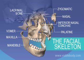 Bones Of The Face Lacrimal Zygomatic Maxilla And Mandible In 2020 Skeleton Anatomy Medical Anatomy Axial Skeleton