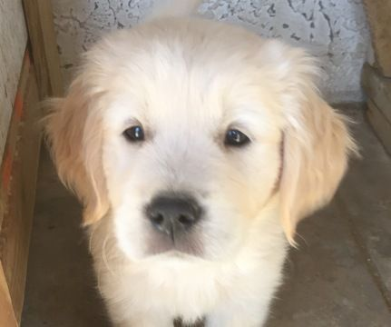 Golden Retriever Puppy For Sale In Scottsdale Az Adn 55147 On