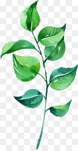 Leaves Png Leaves Transparent Clipart Free Download Eucalyptus Polyanthemos Royalty Free Watercolo Kartiny S Listom Cvetochnye Illyustracii Kartiny Akvarelyu