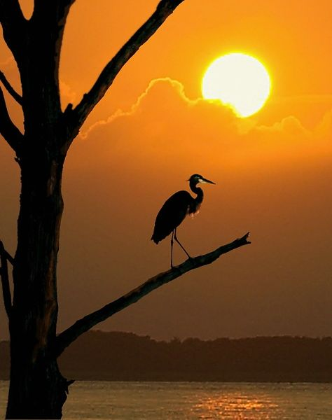 Heron at sunset over Barnegat Bay in New Jersey.