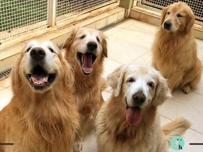 Golden Retriever Alimentación Perros De Compañia Golden Retriever Perros