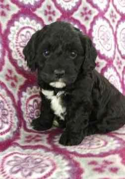 Cocker Spaniel Poodle Miniature Mix Puppy For Sale In Lancaster Pa Adn 70326 On Puppyfind Cocker Spaniel Poodle Poodle Mix Puppies Miniature Cocker Spaniel