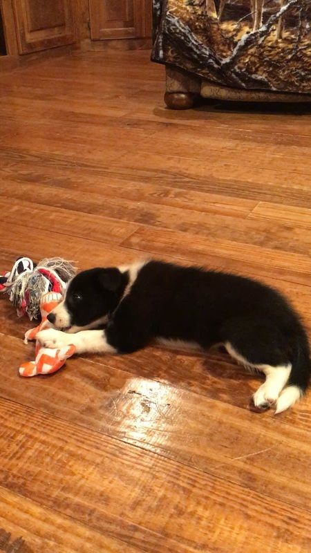 This Black And White Border Collie Puppy Is Exhausted From Playing