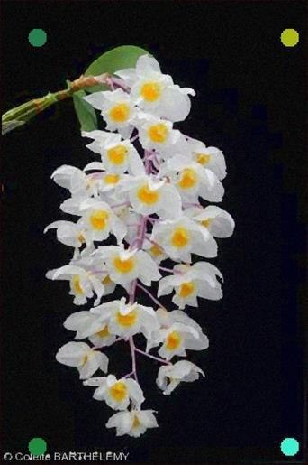 Dendrobium Amabile Orchid Flower Beautiful Orchids Orchid Images