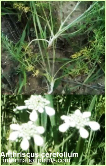 سرفيل بستاني Anthriscus Cerefolium قسم النبات العطري نبات عطري معلومان عامه معلوماتية نبات حيوان اسماك فوائد Plants Herbs
