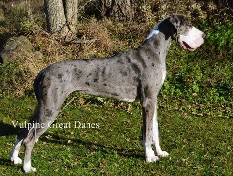 Vulpine Great Danes Our Girls Merle Great Danes Our Girl