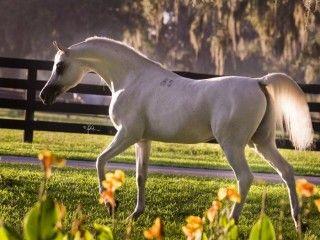 حكاية خيل النبيلا بي El Nabila B Horses Arabian Horse Egyptian Arabian Horses