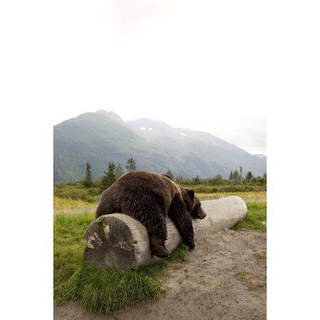 Captive Adult Brown Bear Rests On A Log At The Alaska Wildlife Conservation Center Southcentral Alaska Canvas Art - Doug Lindstrand Design Pics (22 x 34)