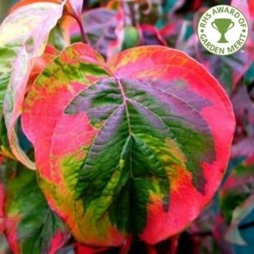 Cornus Florida Rainbow Tree Plante Jardin Jardins Plante