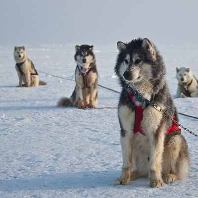 The Original Sled Dog Used By The Inuit People For Polar Bear
