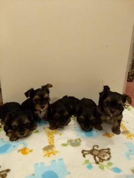 Yorkshire Terrier Puppy For Sale In San Antonio Tx Adn 69320 On Puppyfinder Com Gender F Yorkshire Terrier Puppies Puppies For Sale Yorkie Yorkshire Terrier
