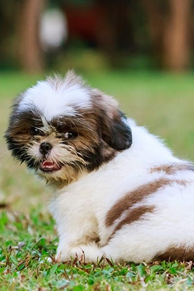How To Potty Train A Shih Tzu Puppy Dog Training Training Your