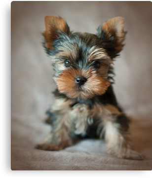 Cute Puppy Of The Yorkshire Terrier Canvas Print Yorkshire