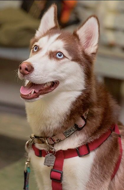 What A Super Cute Siberian Husky Therapy Dog Ila Is Looking