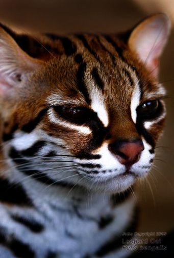 Awesome Beautiful Cats For Sale In Pakistan Small Wild Cats Beautiful Cats Animals Beautiful