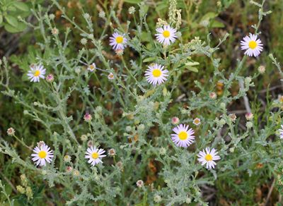 Arida arizonica - Arid Tansyaster, Arid Machaeranthera, Desert Tansy-aster, Silver Lake Daisy - Southeastern Arizona Wildflowers and Plants