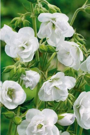 #Géranium vivace aux nombreuses #fleurs doubles blanches.