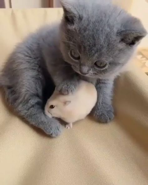 Kitten With Hamster Friend - This cute kitten loves cuddling up to and patting its hamster friend #cute #kittens #hamsters #pets #catlovers #adorable #aww