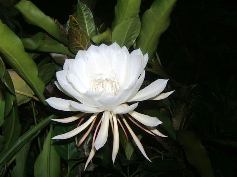 Epiphyllum oxypetalum (Kadupul Flower) | G is for ✿GREEN ...